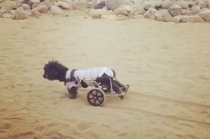 パピーミルで繁殖のためだけに使われ後ろ脚が麻痺した犬の新しい人生