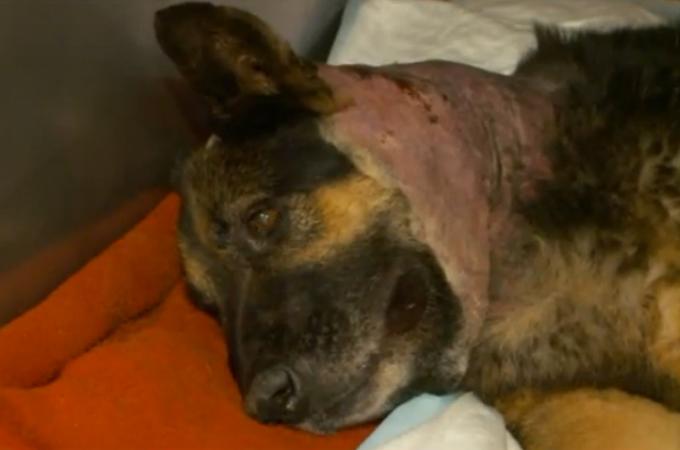 職業犬として人々を守ってきた犬が退職後、自宅に侵入してきた何者かによって刺される。