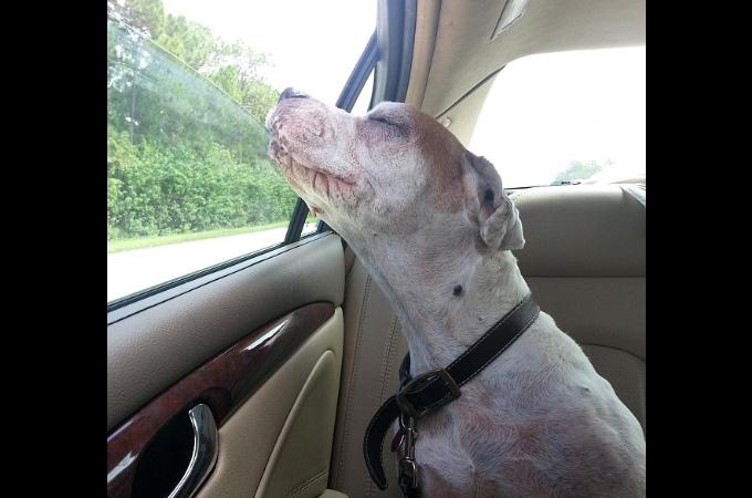 15年の老犬が最後のドライブ。その穏やかな表情に世界中が涙。