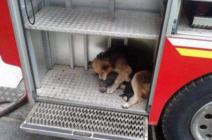 火災現場と消防車を何度も往復し5匹の子犬を救出した母犬。疲れて倒れこむその姿に消防士たちは涙