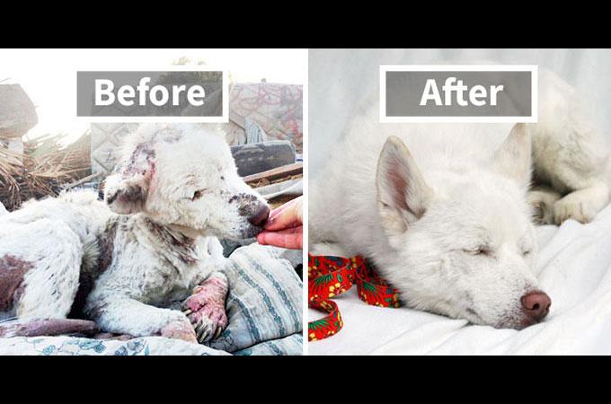 虐待などから保護され驚きの変化を遂げた犬たちのビフォー・アフター