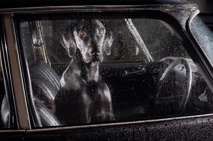 車内で待たされる犬たちの恐怖と不安感を写し出した写真(13枚)。