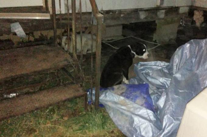 保護されたはずの13匹の犬が酷い状態で家の床下から発見。里親の女性は募金も募っていた事が判明。