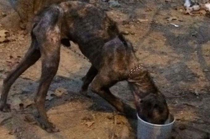 生まれてから4年間、木につながれ十分な食べ物と水を与えられずに衰弱した犬