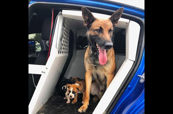 盗難車投棄地へと捨てられた3匹の子犬たちが勇敢なK9によって救われる