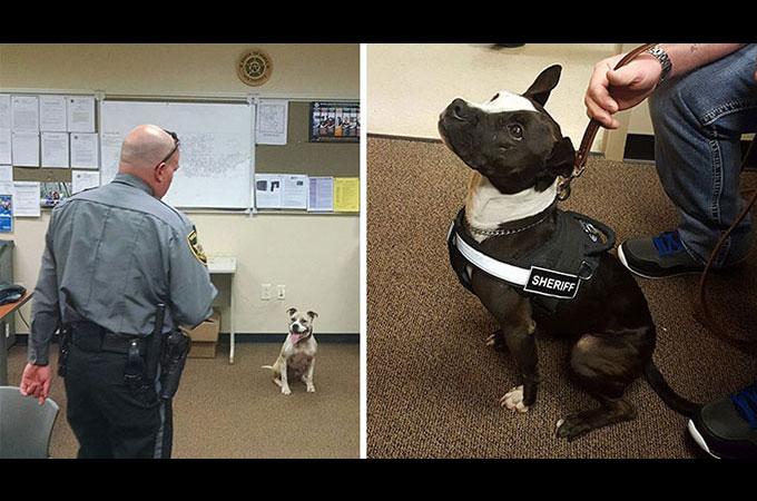 悪評とシェルターでの殺処分と言う状況を変えるため2匹のピットブルが保護され警察犬となる