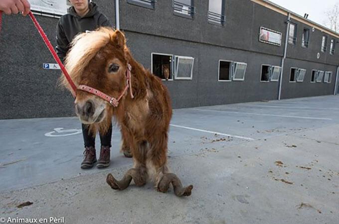 10年間放置され伸びきった蹄でかろうじて歩けるだけのポニーが見つかる