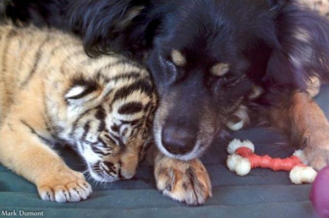 育児放棄されたトラの赤ちゃんの母親代わりになった犬。なんとトラだけではなく、様々な動物の母代わりに