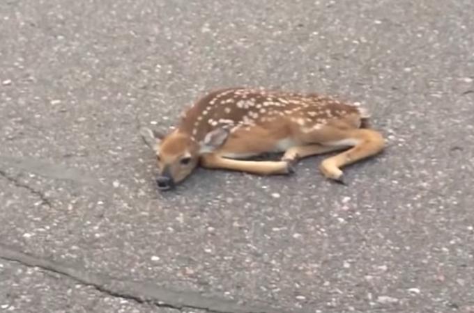 道路の真ん中でぺったんこの子鹿を発見。車に轢かれたのかと思い移動させようした瞬間、驚く出来事が!