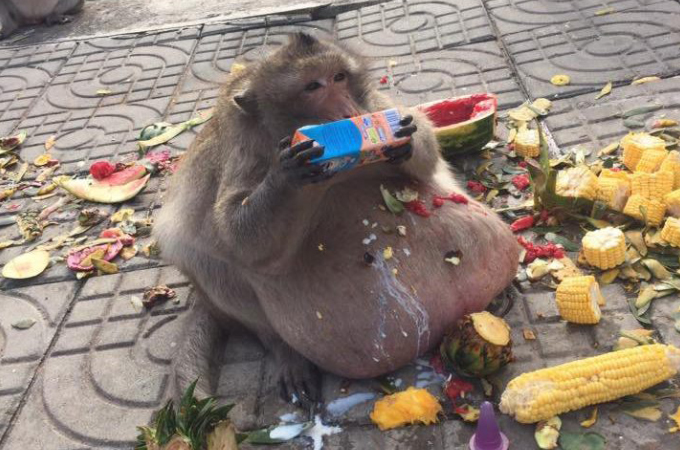 タイのバンコクにいる、あまりにも肥大した猿。観光客から食料をもらい食べ続けた結果、目を覆いたくなるような姿に。