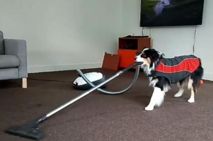洗濯、掃除、ダンスに楽器。そして飼い主さんにドリンクの差し入れまで!なんでも器用にこなせる天才犬!