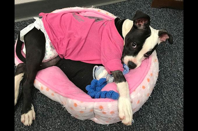 一度は捨てられた3本の脚に障害を持つ生後3ヶ月の子犬が新しい人生を歩みだす