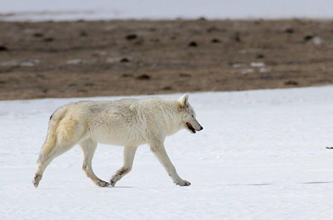 国立公園に住んでいた「女王」と呼ばれた白いオオカミが何者かによって撃たれる。