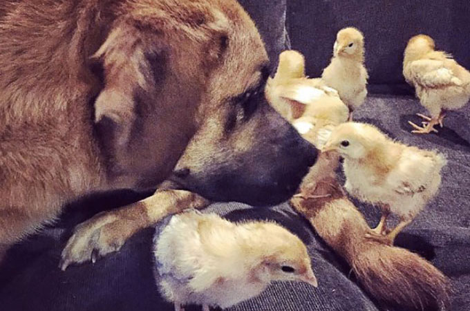6羽の鶏のヒナの母親となった犬!強い絆で結ばれた種を超えた親子愛