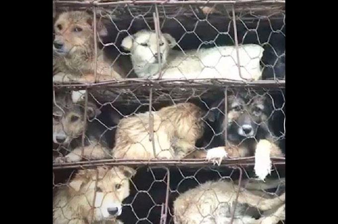 ワイヤーケージで1000匹の犬を荷台に乗せたトラックが向かう先は屠殺場