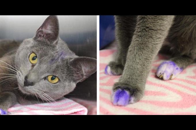 手足が紫色に塗られた猫。それを目にした施設スタッフが肩を落とし悲しむ。ペイントされた、その理由とは。