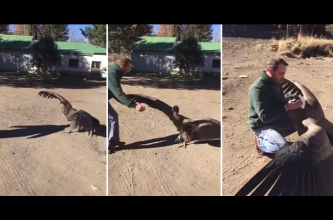 ケガをした野生のコンドルと助けた男性。その後、男性の牧場で治療を行い、絆を深める。
