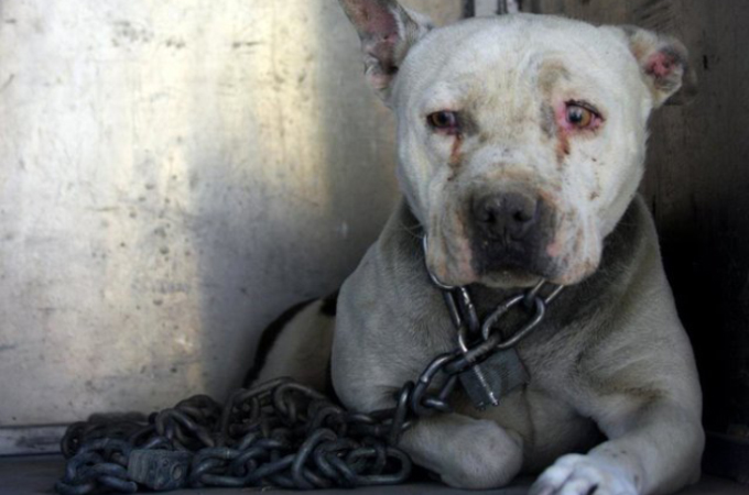 炎天下の中重い鎖と南京錠で繋がれ放置状態にされていた犬たち。体と心に負ったダメージに胸が痛む。