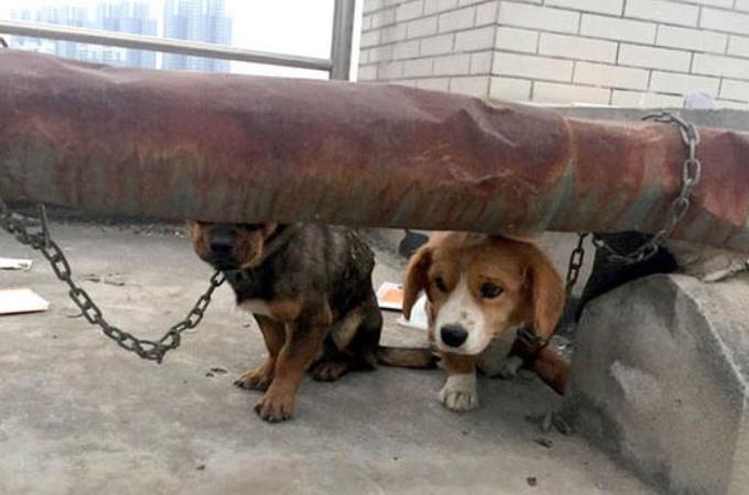 中国の大学で屋上に放置された実験用の犬たち。目の前に広がるあまりにも酷い光景に批難殺到