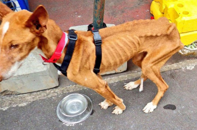 目を覆いたくなるほど痩せ細り衰弱した犬。自分の命を守るため3階の高さから飛び降りる。