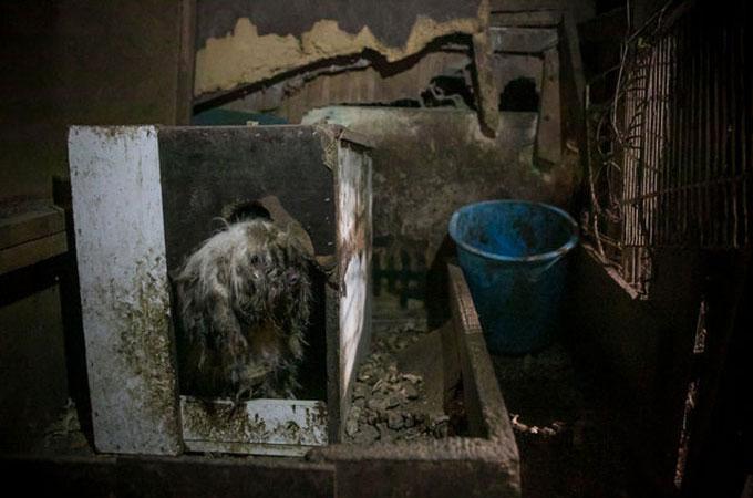 犬肉農場で暮らす全身を自身の糞便に覆い尽くされ犬の悲しい人生