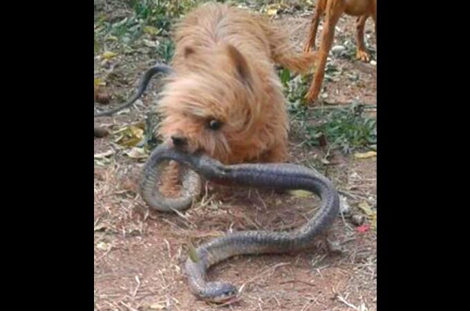 コブラに噛まれながらも飼い主を守った2匹の愛犬。その後、愛犬2匹は息を引き取る。