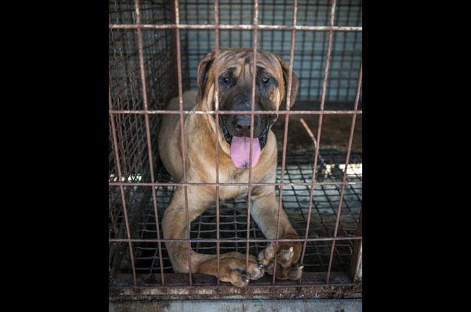 犬肉農場で見つかった変形した前足を持つ犬の人生が輝きはじめる