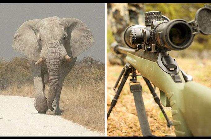 トロフィー・ハンティング中、象に踏みつけられハンターが死亡する事故が発生