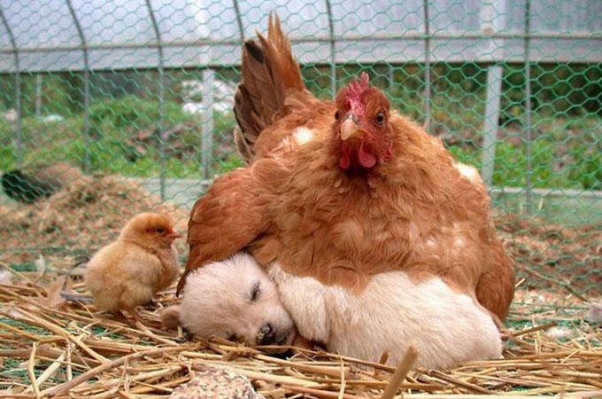 母鶏がまるで我が子のように愛情を注ぐ驚くべき小さな赤ちゃんを写した画像10選