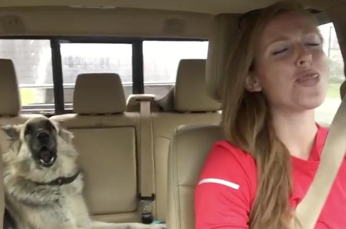 【動画】車の中で飼い主に合わせて高らかにハモるシェパード。