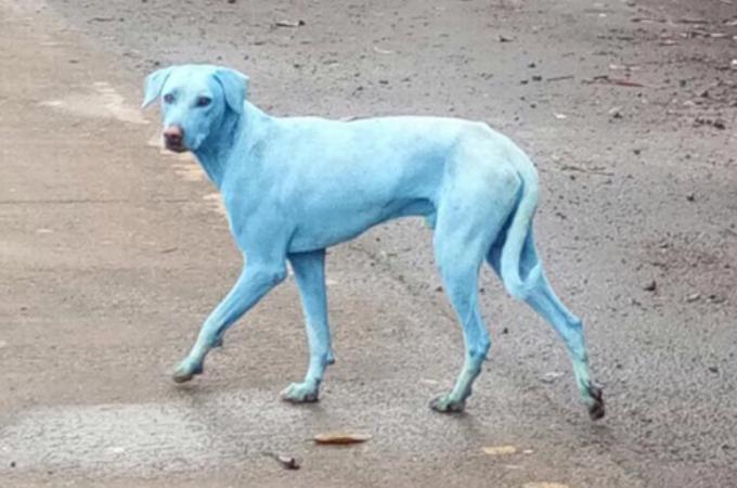何頭も発見される青い犬。「神の化身」とされるが、明らかになったその原因に、胸が締め付けられる。