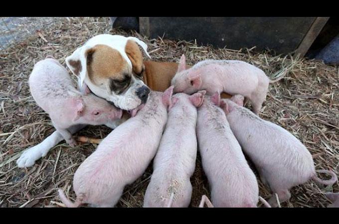 8頭の衰弱した子ブタのお世話をするのは迷子犬として保護されたボクサー犬
