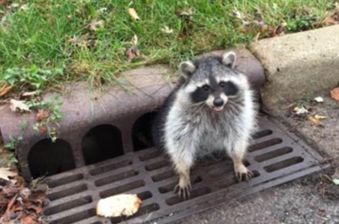 ぽっこりしたお腹が下水溝にはまり、抜け出せなくなってしまった野生のアライグマの救出する様子がこちら。