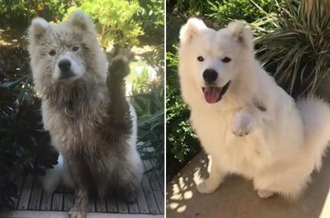 飼い主さんの「Hi!!」の問いかけに、手を上げしっかりと答える生後3ヶ月のサモエド犬が可愛い!!