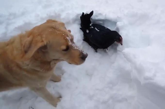 雪に埋もれてしまい動けなくなった鳥。そこを救助したのは、なんと犬だった。