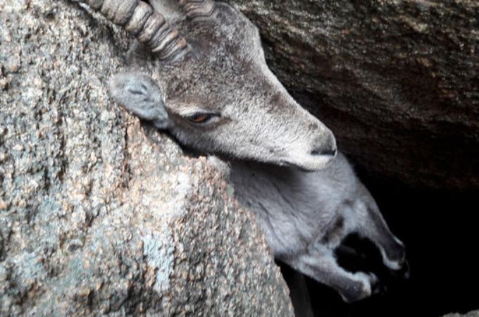岩の間にツノが引っかかり、宙に浮いているヤギを発見し、救出するまで。
