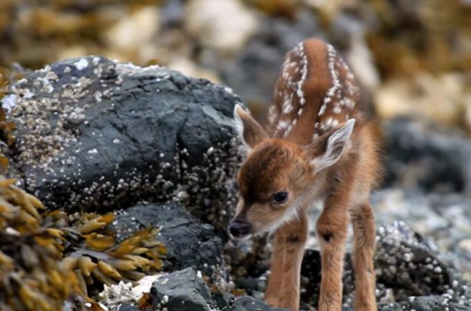 産まれたばかりの子鹿が、目を開き世界を探検しだす瞬間の動画。その神秘的な様子に思わず感動。