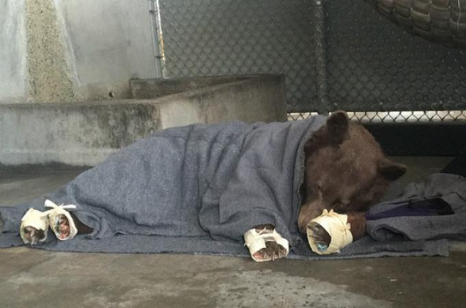 山火事で大怪我を負ったクマ。そして、治療中にわかったもうひとつの真実とは。