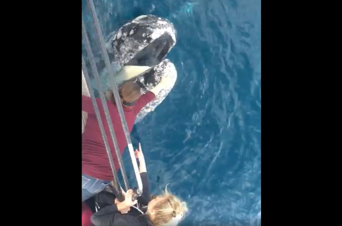ホエールウォッチングで寄ってきたクジラに触ったツアー客。ツアー会社とツアー客、両方に罰金刑の可能性も。