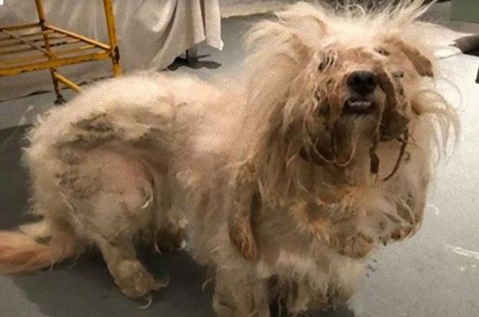 飼育放棄され、毛は伸びきり糞尿に覆われ炎症していた犬。その後見せた姿と、今の生活とは。