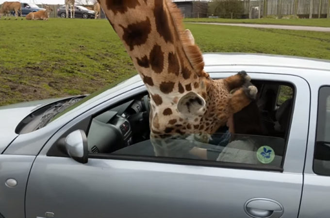 車内の餌を目当てに首をつっこむキリン。それを抵抗し窓を閉めて起きてしまった悲劇とは。