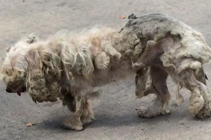 毛玉・ノミ・ダニに覆われていた捨て犬。発見した夫婦によって本来の姿を取り戻し、その後。