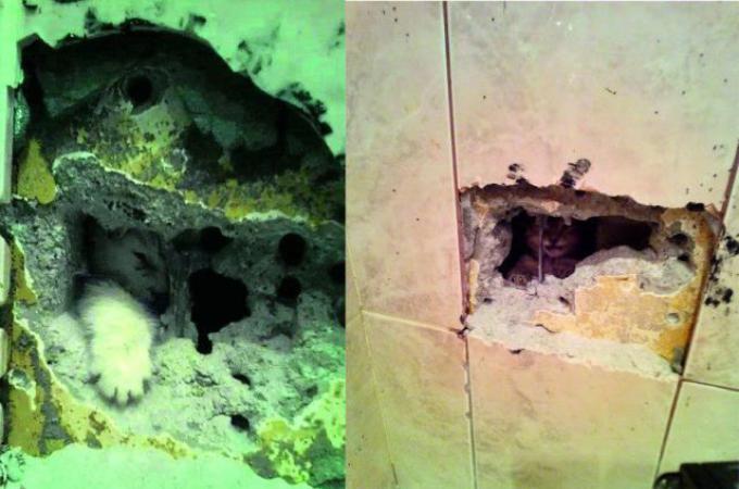 同じ場所に閉じ込められた子猫。住民は2回も壁を壊し修理を余儀なくされる。