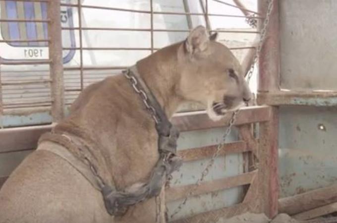 20年間鎖に繋がれ、自由を奪われていたピューマが動物団体に保護され、自由を手に入れる。