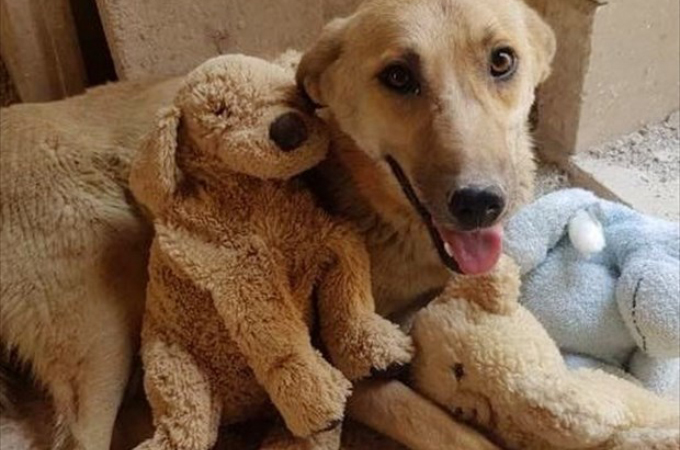 我が子を死産した悲しみからぬいぐるみを抱く犬。その犬を悲しみから救った存在とは。