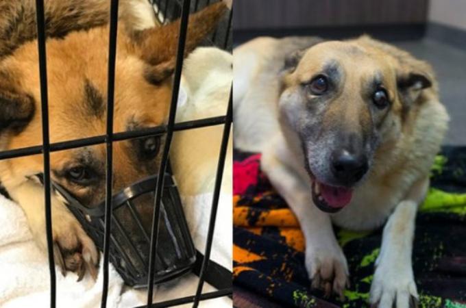 繁殖犬として酷使されてきたジャーマンシェパード犬。保護され、見つかった病と残された余命とは。